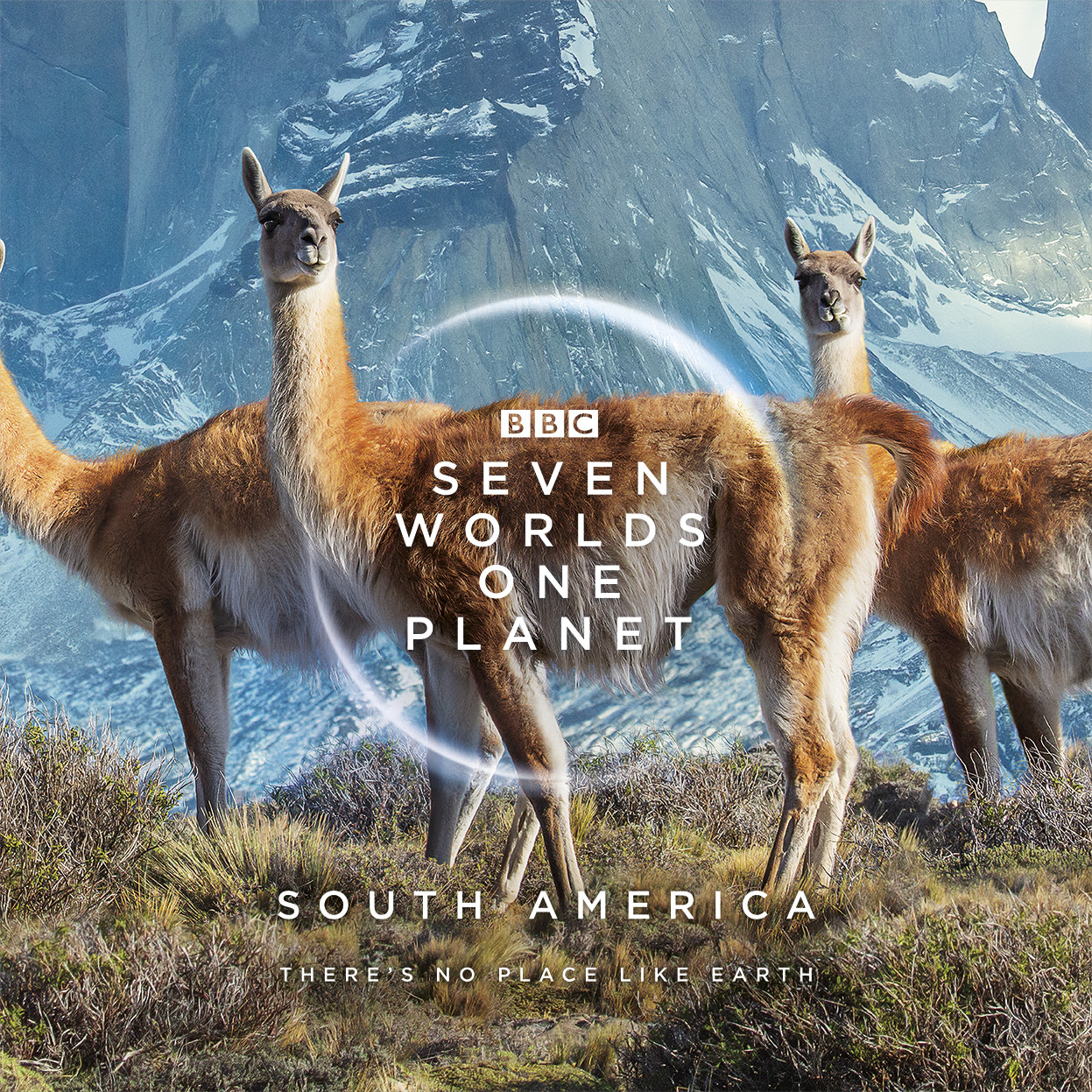 Species: Guanacos in The Andes, Chile